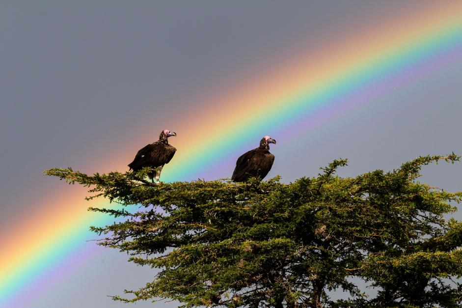 MUST CREDIT: PAUL GOLDSTEIN/EXODUS/. IMAGES OUTSIDE OF PRINT NEWSPAPER SUBSCRIPTIONS. FEES APPLY FOR UNIQUE IPAD USE. PAUL GOLDSTEIN/REX VULTURES AND A RAINBOW IN THE MASAI MARA, KENYA POT OF GOLD: GRAPHER CAPTURES AMAZING RAINBOWS IF YOU ARE LOOKING FOR A BRIGHT START TO THE NEW YEAR, LOOK NO FURTHER. WILDLIFE GRAPHER PAUL GOLDSTEIN HAS CAPTURED A SERIES OF STUNNING RAINBOW IMAGES IN HIS ROLE AS GUIDE FOR EXODUS TRAVELS. WIMBLEDON-BASED PAUL LEADS TOURS TO FAR FLUNG PLACES AROUND THE WORLD AND SAYS HE LOVES IT IN THE WILDERNESS WHEN THE WEATHER TURNS BAD. HIS AMAZING PICTURES RANGE FROM A FOGBOW (A RAINBOW IN FOG) IN SPITSBERGEN, NORWAY TO THE ANSWER TO WHAT IS ACTUALLY AT THE END OF A RAINBOW - A GIRAFFE! HE EXPLAINS: -A BIT OF GREY SKY AND ANNOYING DRIZZLE IS NO GOOD, I LIKE IT WHEN THE HEAVENS ERUPT, WHEN THEY REALLY GET MIFFED AND THROW ANGRY STORMS AT ME WITH FOREBODING INKY SKIES. -FIRSTLY IT SENDS SLACK PEOPLE SCURRYING INDOORS BUT ALSO THERE IS ALWAYS THE CHANCE OF A RAINBOW. -WHETHER IT IS IN THE ARACTIC, ANTARCTIC, THE PLAINS OF THE MASAI MARA OR ICELAND, I AM ALWAYS ON THE LOOK OUT FOR THEM TO GRAPH. NOT ONLY ARE THEY ALWAYS ARRESTING AND BEAUTIFUL, THEY ARE ALWAYS DIFFERENT.- HTTP:/WWW.REXFEATURES.COM/STACKLINK/KUEEEHFNO %_ 3438634 _%